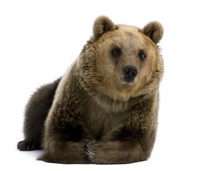Female Brown Bear, 8 years old, lying down