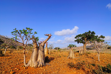 Endemic forest on the Socotra island