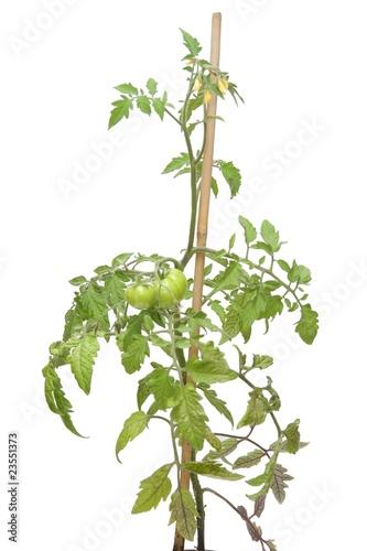 Pied de tomates photo libre de droits sur la banque d 39 images image 23551373 - Distance entre pied de tomate ...