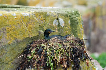 Shag sitting on nest