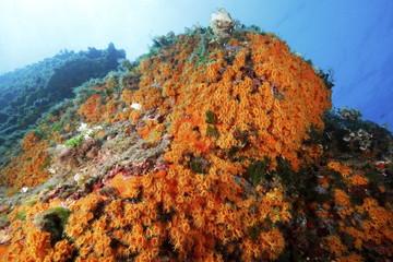 margherite di mare