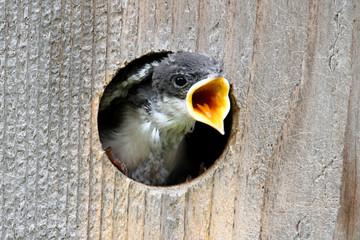 Fotoväggar - Baby Tree Swallow Begging For Food