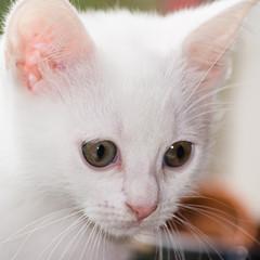 Portrait of white, six weeks old kitten