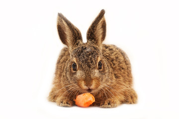 Isolated european hare