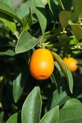 arancia piccola