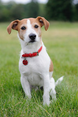 Parson Jack Russell Terrier sitting in a park