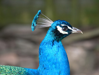 peacock profile view