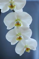 orchidea fiori 344