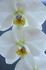 orchidea fiori 348