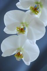 orchidea fiori 349