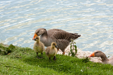 Dad Greylag watches family leave the water