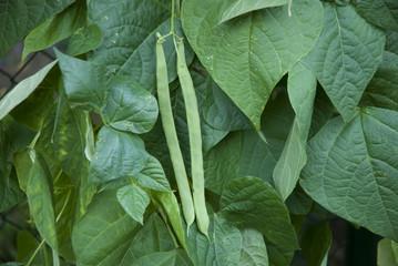 Gartenbohnen,  Phaseolus vulgaris, Fabaceae