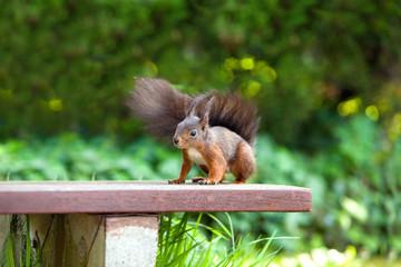 Eichhörnchen - braunes Eichhörnchen - Squirrel