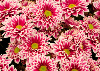 Pink and White flower background