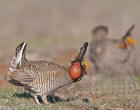Lesser Prairie Chicken 2