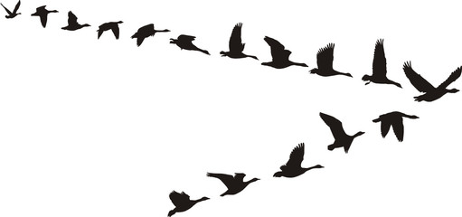 Geese fly in V-shaped