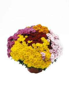 chrysanthème en conteneur