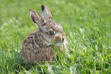 Small little hare