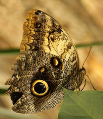 A large Owl Butterfly perching on a leaf