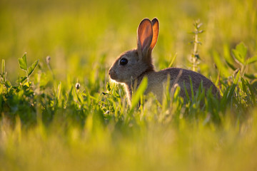 da986153fb2 Lapin stock photos and royalty-free images, vectors and ...