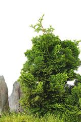 Bonsai - Tree
