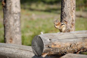 Chipmunk on Log