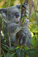 Koala eating eucalyptus leaf