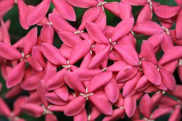 """photos, illustrations et vidéos de """"hortensia de chine"""""""