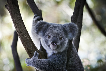 Koala bear sitting on the branch