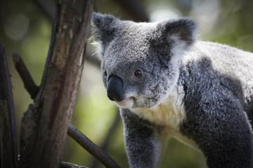 Koala climbing on a tree branches