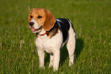 Happy beagle dog in a park