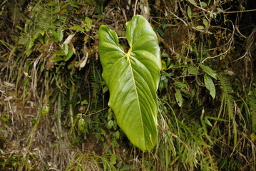 Jungle plant by the Inca trail to Machu Picchu