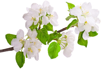 Flowering branch of apple-tree