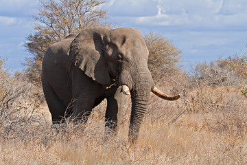 Big elephant bull in the Greater Kruger Transfrontier Park