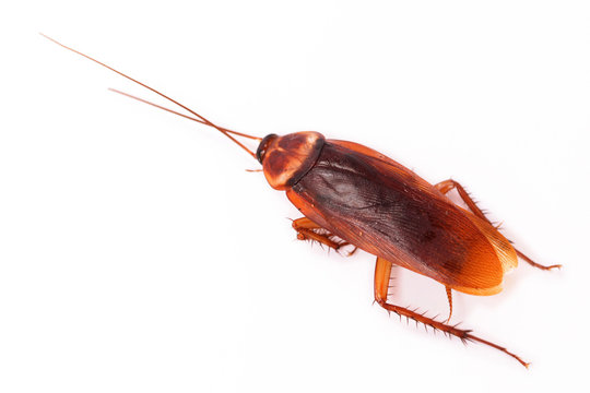 American cockroach on white