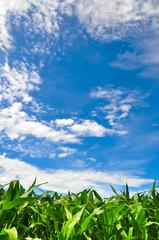 Corn field and blue sky