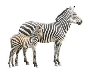 Wall Murals Zebra Zebra with foal cutout