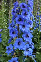 Bright blue Delphinium