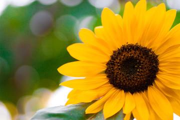 Sunflower a background.