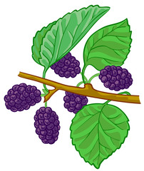 Isolated vector illustration of mulberry branch