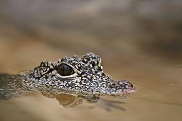 Baby-Krokodil lauert im Wasser