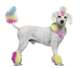 Poodle with multi-colored hair and mohawk, 12 months old