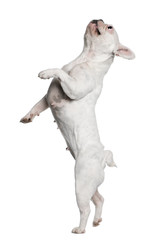 French Bulldog standing on hind legs