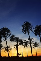 palm trees sunset golden blue sky backlight