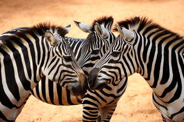 Aluminium Prints Zebra Three Zebras Kissing