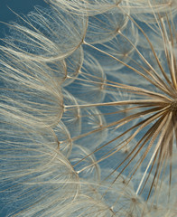 Canvas Prints Dandelions and water Close-up of dandelion seed