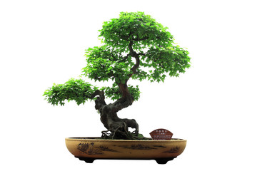 Poster Bonsai Chinese green bonsai tree Isolated on white background.