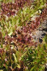 Salade de jardin, 2010