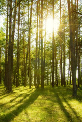 Garden Poster Forest Pine forest with the sun shining