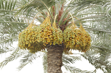 yellow and green dates surrounding the tree trunk